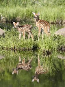 Two Whitetail Deer Fawns with Reflection, in Captivity, Sandstone, Minnesota, USA by James Hager