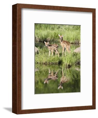 Two Whitetail Deer Fawns with Reflection, in Captivity, Sandstone, Minnesota, USA