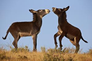 Two Young Wild Burro (Donkey) (Equus Asinus) (Equus Africanus Asinus) Playing by James Hager