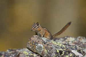 Uinta Chipmunk (Tamias Umbrinus), Uncompahgre National Forest, Colorado, Usa by James Hager
