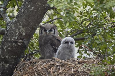 Verreaux's eagle owl (giant eagle owl) (Bubo lacteus) adult and chick on their nest, Kruger Nationa by James Hager
