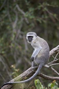 Vervet Monkey (Chlorocebus Aethiops), Kruger National Park, South Africa, Africa by James Hager