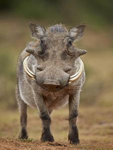 Warthog (Phacochoerus Aethiopicus), Male, Addo Elephant National Park, South Africa, Africa by James Hager