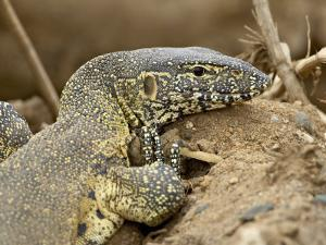 Water Monitor, Kruger National Park, South Africa, Africa by James Hager