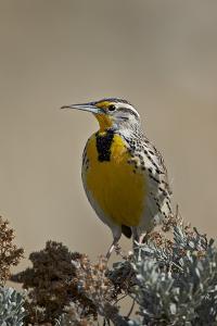 Western Meadowlark (Sturnella Neglecta) by James Hager