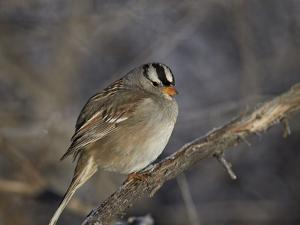White-Crowned Sparrow (Zonotrichia Leucophrys) by James Hager
