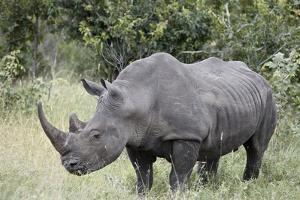 White Rhinoceros (Ceratotherium Simum), Kruger National Park, South Africa, Africa by James Hager