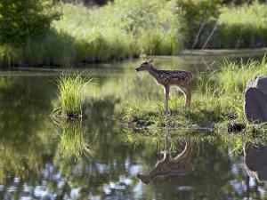 Whitetail Deer Fawn with Reflection, in Captivity, Sandstone, Minnesota, USA by James Hager