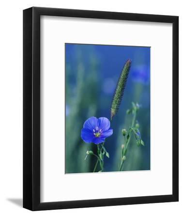 Wild Blue Flax (Linus Perenne Lewisii), Grand Teton National Park, Wyoming