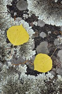 Yellow Aspen Leaves on a Lichen-Covered Rock in the Fall by James Hager