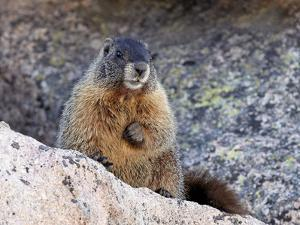 Yellow-Bellied Marmot (Marmota Flaviventris), Arapaho-Roosevelt Nat'l Forest, Colorado, USA by James Hager