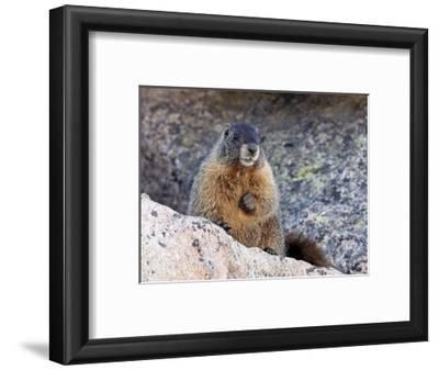 Yellow-Bellied Marmot (Marmota Flaviventris), Arapaho-Roosevelt Nat'l Forest, Colorado, USA