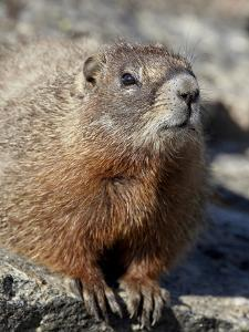 Yellow-Bellied Marmot (Marmota Flaviventris), Shoshone Nat'l Forest, Wyoming, USA by James Hager