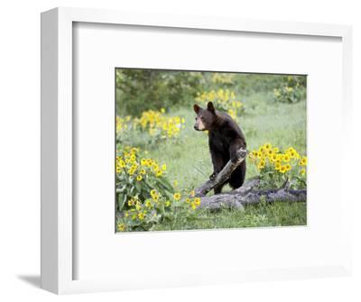 Young Black Bear Among Arrowleaf Balsam Root, Animals of Montana, Bozeman, Montana, USA