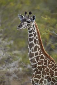 Young Masai giraffe (Giraffa camelopardalis tippelskirchi), Selous Game Reserve, Tanzania, East Afr by James Hager