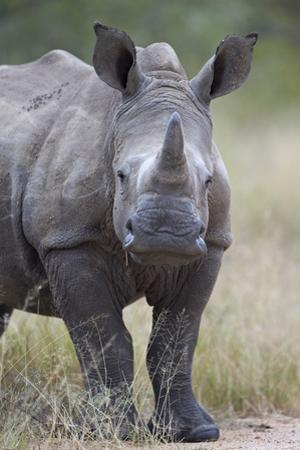 Young White Rhinoceros (Ceratotherium Simum), Kruger National Park, South Africa, Africa