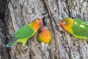 A Fischer's Lovebird Feeds its Mate in a Nest. Ngorongoro, Tanzania by James Heupel