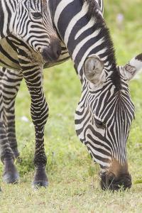 Adult Female Zebra Grazing with Her Colt, Ngorongoro, Tanzania by James Heupel