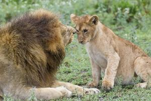 Adult Male Lion Father Growls at Female Cub, Ngorongoro, Tanzania by James Heupel