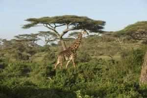 Adult Masai Giraffe Walks Through Green Shrubs and Acacia Trees by James Heupel