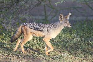 Black-Backed Jackal Walks Through the Jungle, Ngorongoro, Tanzania by James Heupel