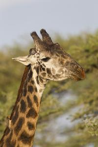 Bull Masai Giraffe Portrait with Ox Pecker, Ngorongoro, Tanzania by James Heupel