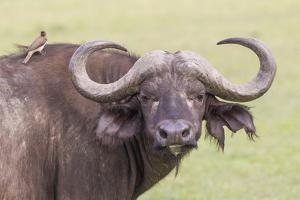 Cape Buffalo with Yellow Ox Pecker Bird, Ngorongoro, Tanzania by James Heupel