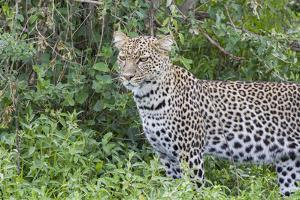 Close-up of Leopard Standing in Green Foliage, Ngorongoro, Tanzania by James Heupel