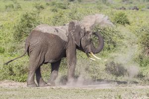 Elephant Taking a Dust Bath, Spraying Dust on its Head with its Trunk by James Heupel