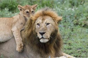 Female Cub Lies on Top of Her Father, Ngorongoro, Tanzania by James Heupel