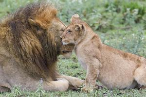 Female Cub Nuzzles Adult Male Lion, Ngorongoro, Tanzania by James Heupel