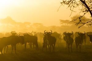 Herd of Wildebeests Silhouetted in Golden Dust, Ngorongoro, Tanzania by James Heupel