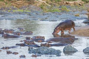 Hippo Rejoins its Pod Relaxing in the Water, Serengeti, Tanzania by James Heupel