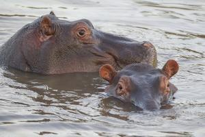 Hippos Swim Beside Each Other, Ngorongoro Conservation Area, Tanzania by James Heupel