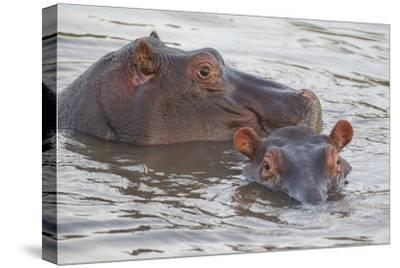 Hippos Swim Beside Each Other, Ngorongoro Conservation Area, Tanzania