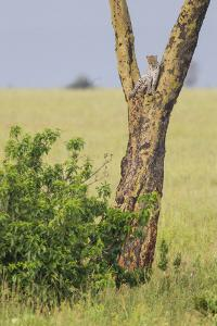 Leopard Resting 10 Feet Up in Acacia Tree, Grassy Plains Behind It by James Heupel