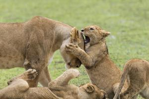 Lion Cub Attempts to Bite the Head of a Lioness, Ngorongoro, Tanzania by James Heupel