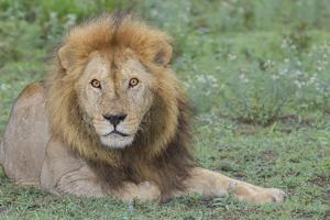 Lion Lying on Grass Resting, Look of Surprise While Looking at Viewer by James Heupel