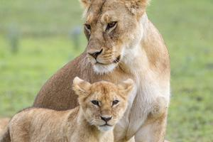 Lioness with its Cub Standing Together, Ngorongoro, Tanzania by James Heupel