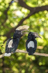 Male and Female Hornbills, Lake Manyara National Park, Tanzania by James Heupel