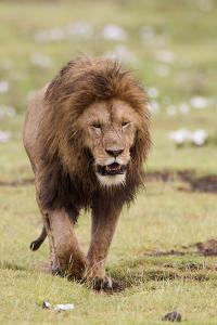 Male Lion Walks Directly to Camera, Ngorongoro, Tanzania by James Heupel
