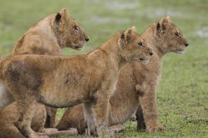 Three Lion Cubs, Ngorongoro Conservation Area, Tanzania by James Heupel