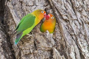 Two Fischer's Lovebirds Nuzzle Each Other, Ngorongoro, Tanzania by James Heupel