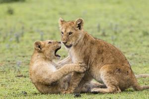 Two Lion Cubs Play, Ngorongoro, Tanzania by James Heupel