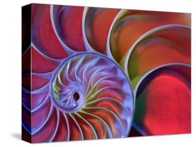 Chambered Nautilus in Colored Light