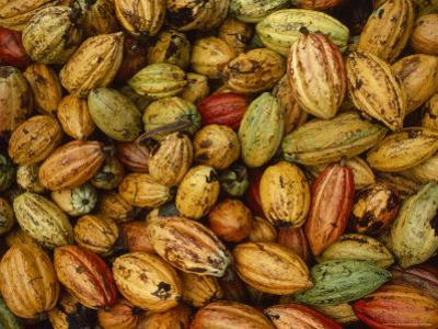 Cocoa Bean Pods of Varying Shades of Yellow, Green, and Red by James L^ Stanfield