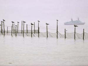 Gulls Perch on the Posts of Fishing Nets Set near Point Lookout, Chesapeake Bay, Maryland by James L^ Stanfield