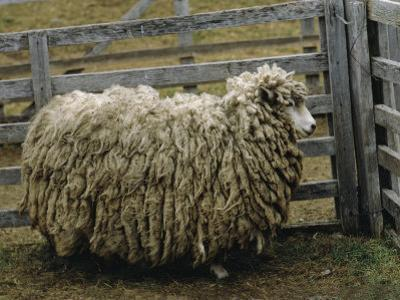 Sheep Covered in Wool, Harberton, Argentina by James L. Stanfield