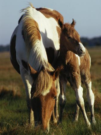 Wild Pony and Foal Grazing in a Field by James L. Stanfield