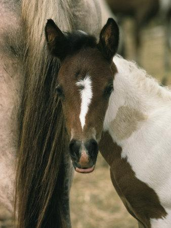 Wild Pony Foal Nuzzled up to its Mothers Tail